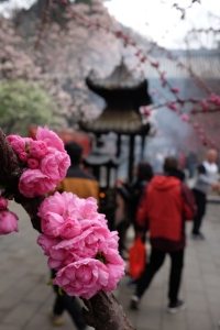 Blossoms at Tanzhe